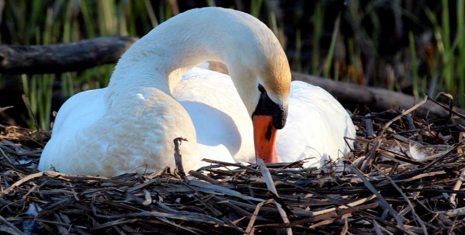 Лебед умря от мъка, след като изпочупиха яйцата му